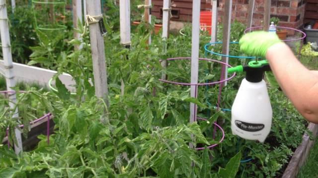 Лучшие внекорневые подкормки для томатов