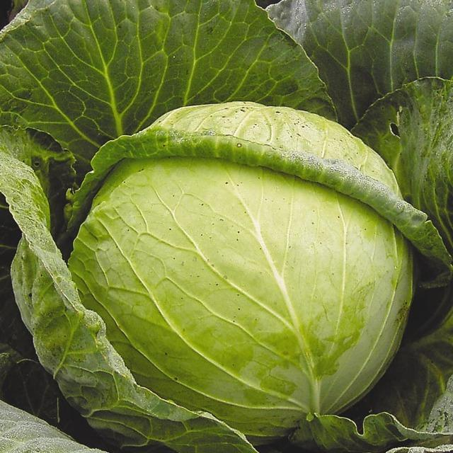 Наилучшие сорта капусты для засолки