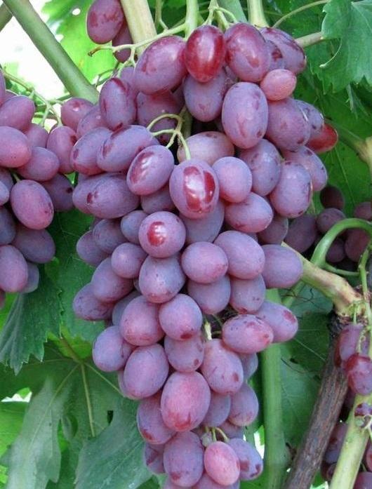 Виноград Виктор: описание сорта, фото, отзывы