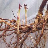 Пересадка ежевики на новое место весной, осенью и летом