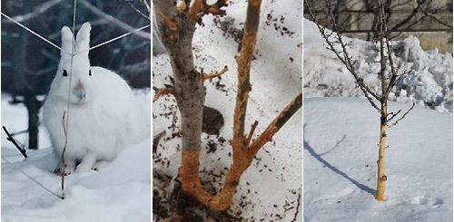 Как защитить яблони от мышей зимой