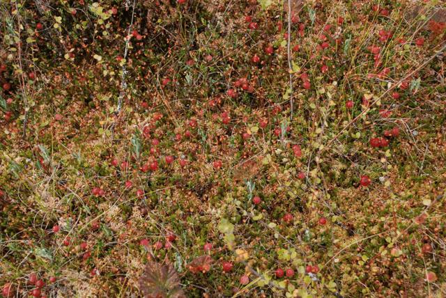 Где растет клюква: когда поспевает, как выглядит, как цветет, когда и как собирают