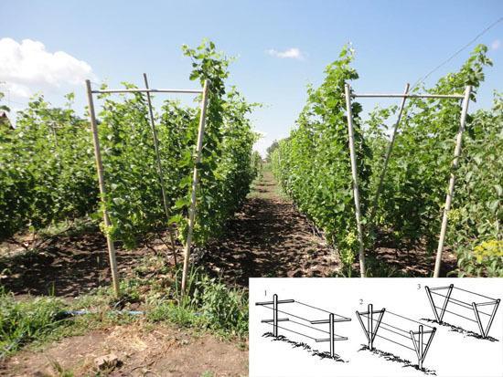 Виноград Дубовский розовый: описание сорта, фото, отзывы, видео