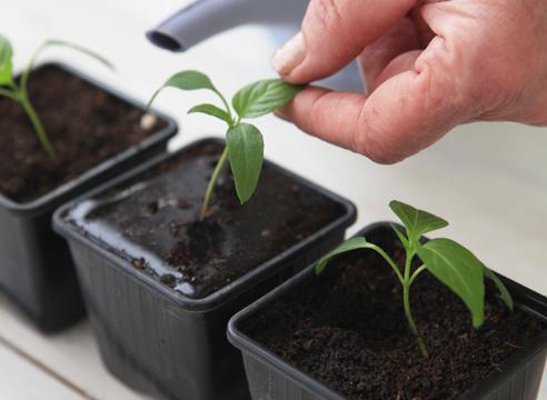 Перец Бонета: описание сорта, выращивание, фото, отзывы