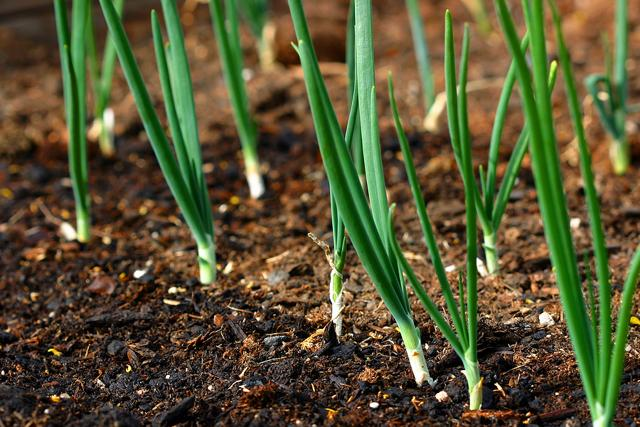 Лук-батун под зиму: когда сажать, правила посадки осенью семенами