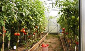 Высадка и уход за томатами в теплице