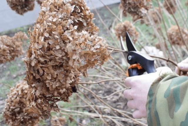 Подготовка гортензии к зиме на Урале: обрезка, уход и посадка, фото