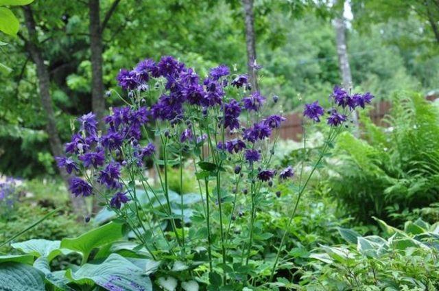 Низкорослые многолетники цветущие все лето