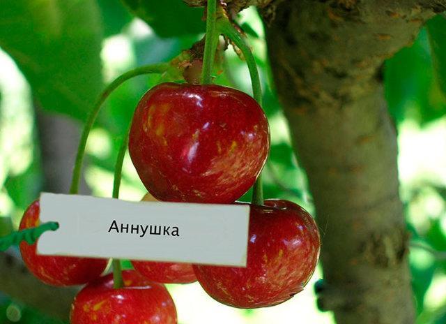 Черешня Аннушка: описание сорта, опылители, фото, отзывы