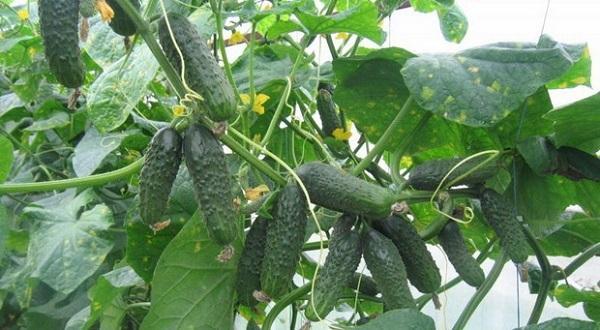 Огурцы Эколь: отзывы, фото, описание и характеристика сорта, выращивание