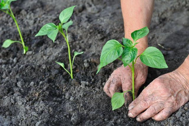 Сладкий перец Гладиатор: описание, выращивание, фото, отзывы