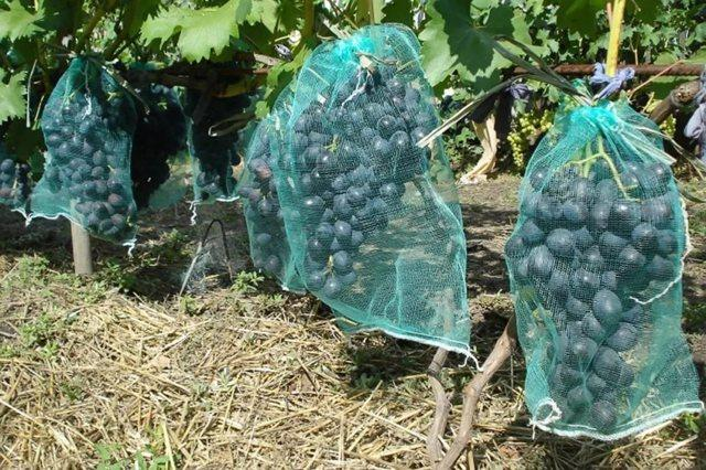 Виноград Фуршетный: описание сорта, фото, отзывы