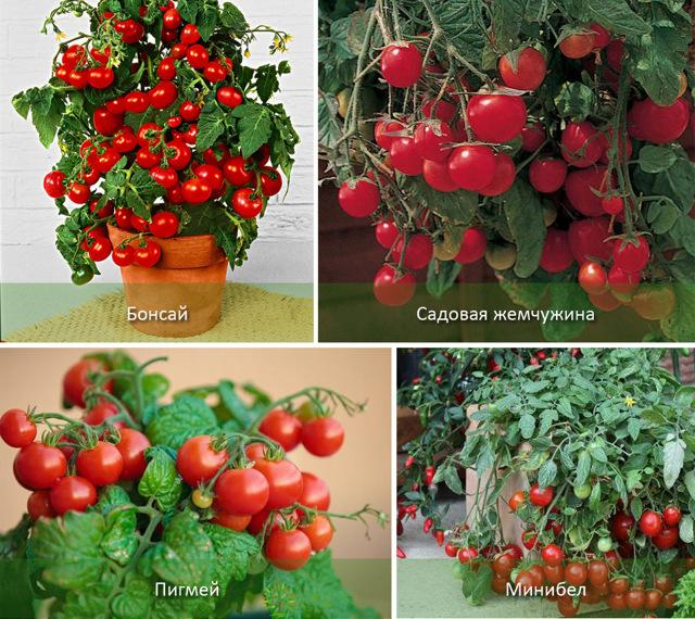 Как выращивать помидоры в ведрах