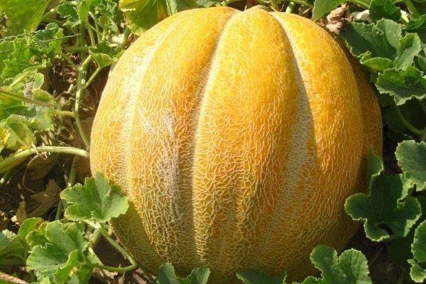 Дыня Эфиопка: где выращивают, как выбрать, калорийность, полезные свойства
