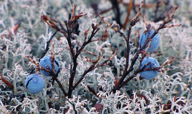 Голубика Норт Блю: описание и характеристика сорта, отзывы, фото