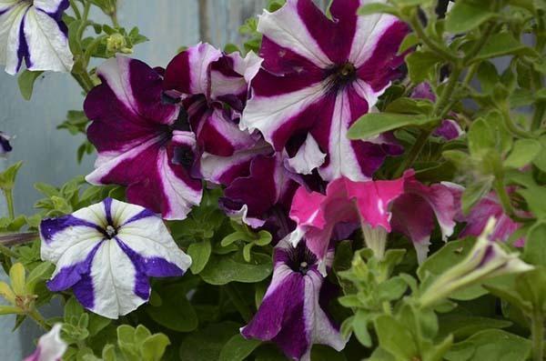 Как собрать семена петунии в домашних условиях: правила самостоятельного сбора, видео