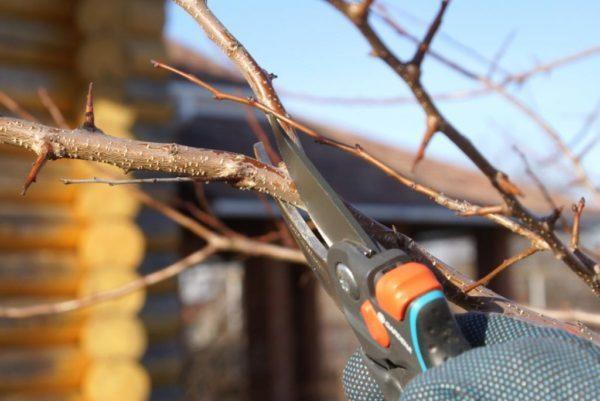Обрезка груши осенью: для начинающих в картинках, фото, в каком месяце, как подготовить к зиме