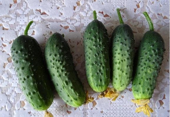 Огурец Генеральский f1: отзывы и фото, описание, особенности выращивания