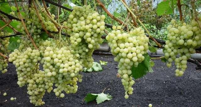 Виноград Оригинал розовый, черный: описание сортов, фото, отзывы, видео