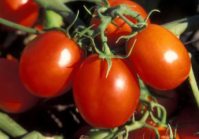 Томат Абруццо: описание сорта, выращивание, фото, отзывы