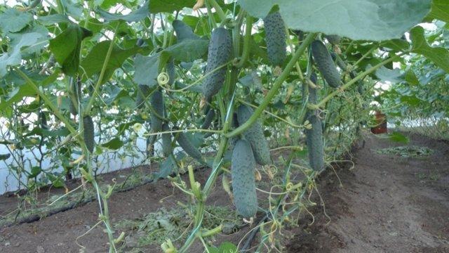 Огурец Монолит f1: описание сорта, агротехника, отзывы, фото