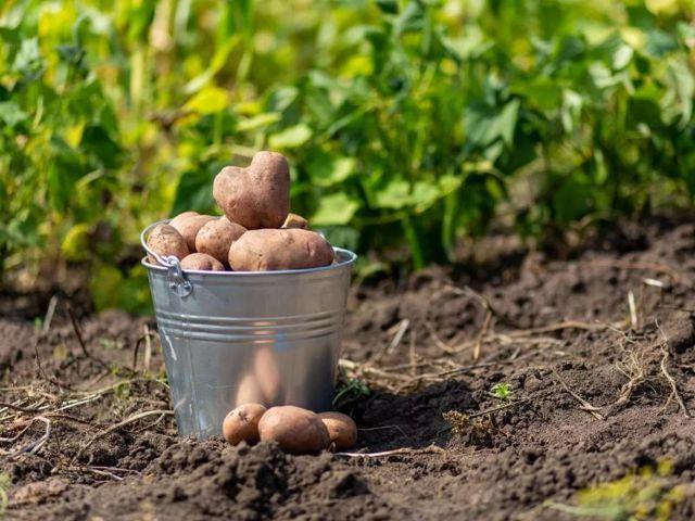 Удобрение для картофеля при посадке в лунку