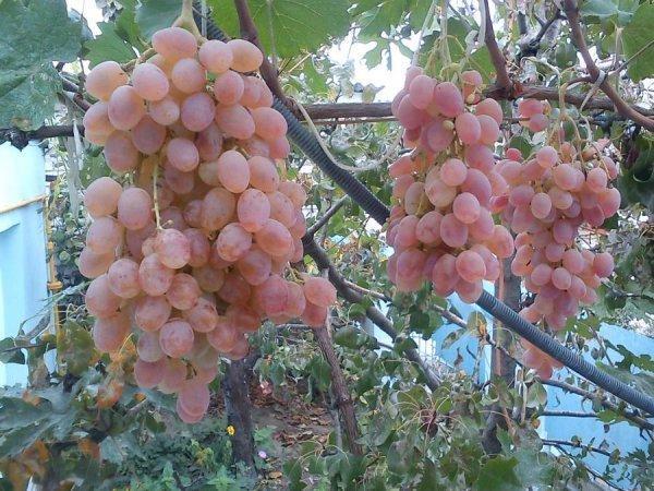 Виноград Тайфи розовый, белый, черный: описание, фото, отзывы