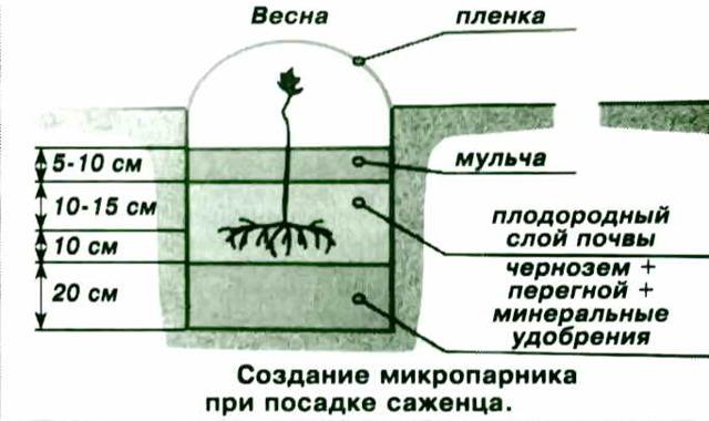 Виноград Богатяновский: описание сорта, фото, отзывы