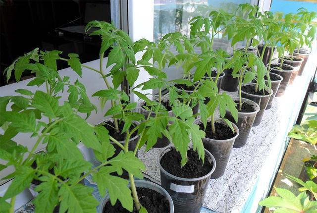 Когда садить рассаду томатов в Сибири
