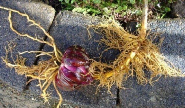 Пересадка лилий осенью на другое место: уход и подготовка к зиме, сроки