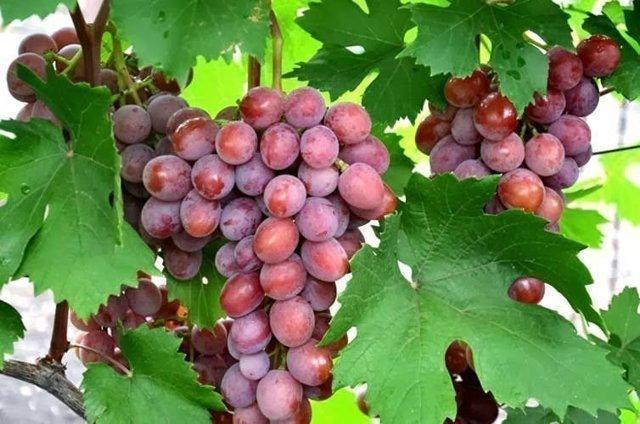 Виноград Дарья, Дашуня, Дашенька: фото, описание сортов, отзывы