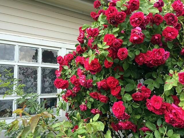 Вьющиеся розы, цветущие все лето + фото