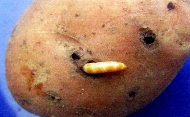 Меры борьбы с проволочником на картофельном участке