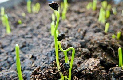 Когда сажать лук-порей на рассаду: сроки посадки, как сеять, видео