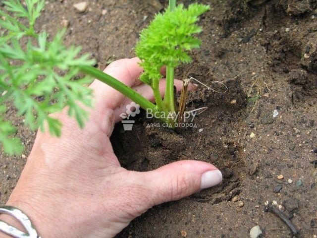 Подкормка для моркови, выращиваемой в открытом грунте