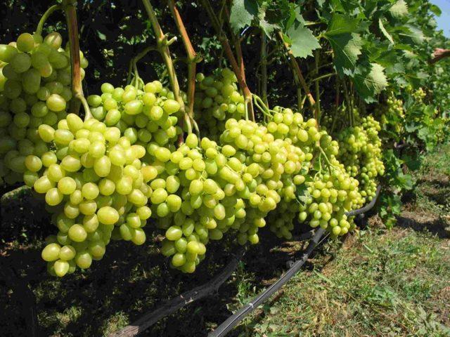 Виноград Кеша: описание сортов, фото, отзывы, видео