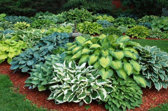 Растущие многолетники для тенистых садов