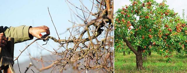 Обрезать старую яблоню весной: как правильно, когда лучше, схема, видео