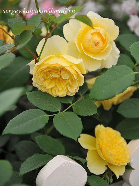 Роза Оливия Роуз Остин + отзывы