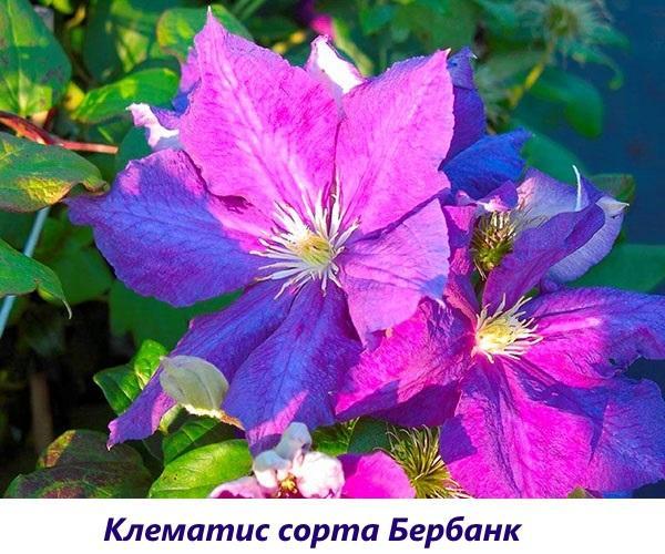 Клематис Генерал Сикорский: фото и описание, группа обрезки, отзывы