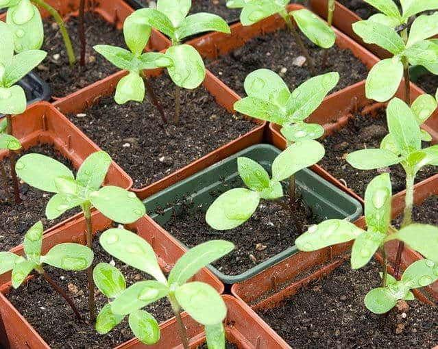 Рудбекия однолетняя: выращивание из семян, когда сажать на рассаду