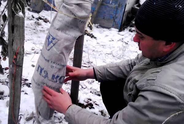 Укрытие яблони на зиму: как утеплить, видео