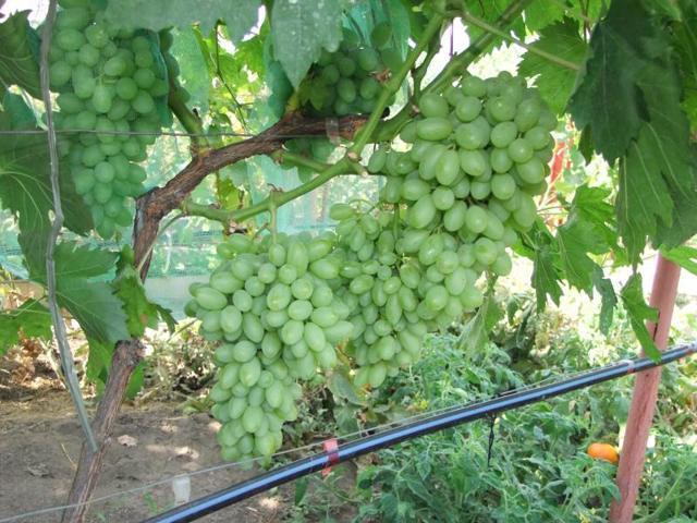 Виноград Столетие: фото, описание сорта, отзывы, видео