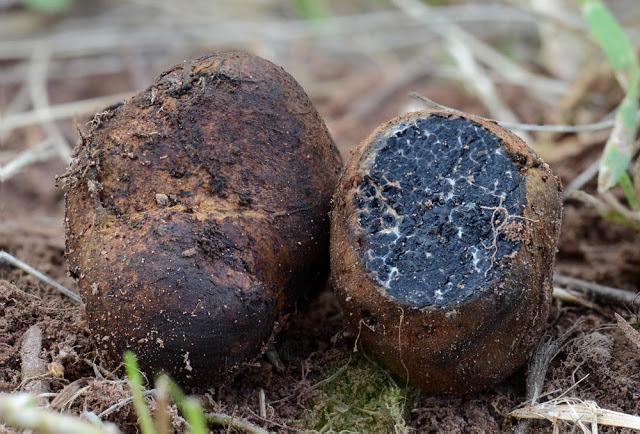 Меланогастер Брума: как выглядит, где растет, можно ли есть, фото