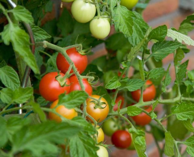 Обработка помидоров от болезней