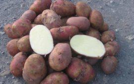 Описание сорта картофеля Мелодия