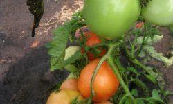 Томат Аляска: описание сорта, отзывы, фото, урожайность