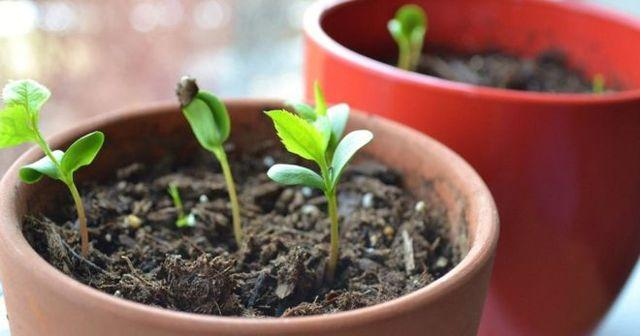 Как вырастить черешню из косточки в домашних условиях, будет ли плодоносить, как прорастить косточки
