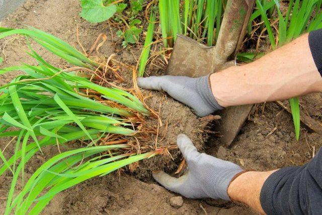 Лилейники: посадка и уход в открытом грунте, подкормка, когда пересаживать