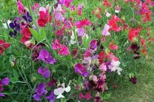 Вьющиеся однолетники для сада с фото и названиями